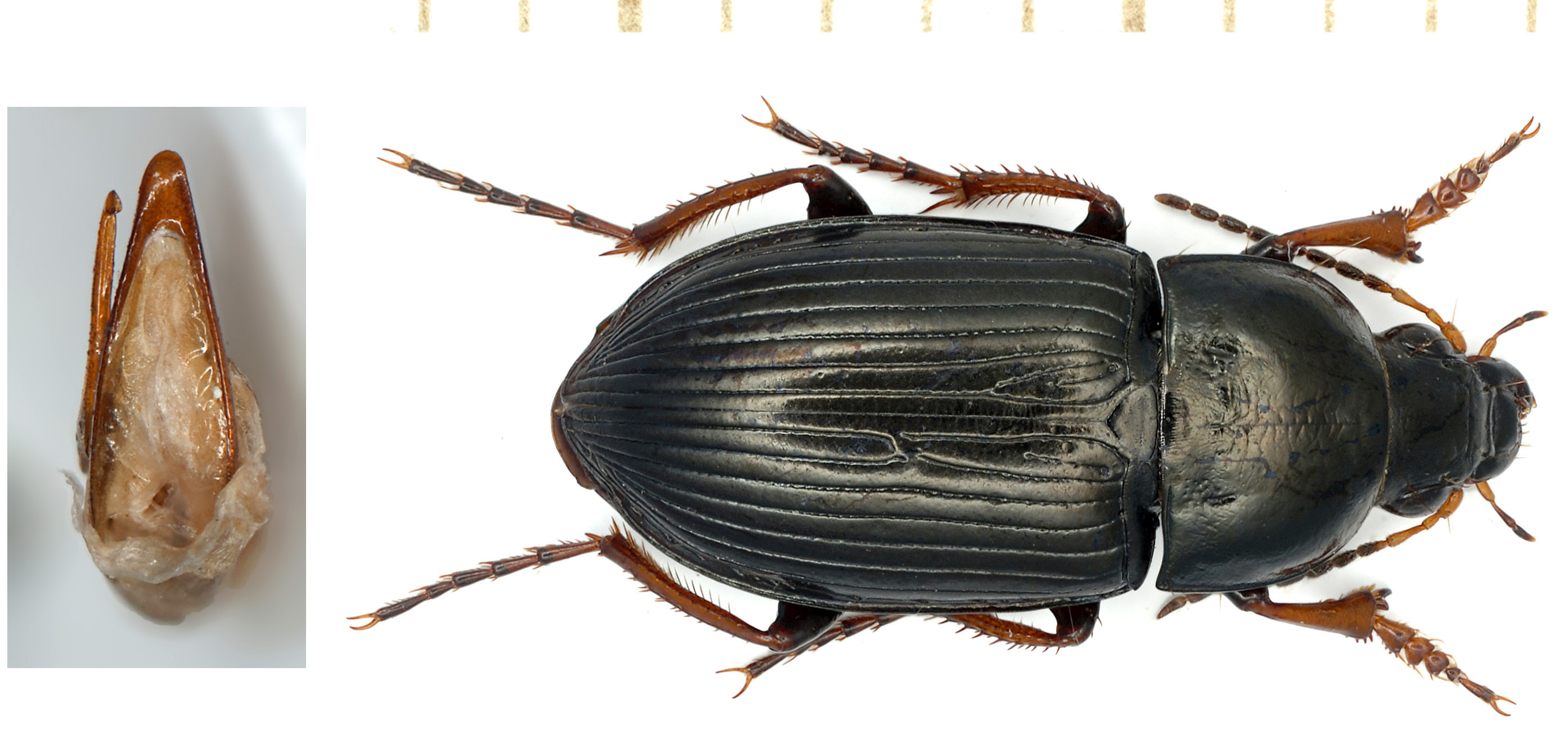 Amara fulvipes (Audinet-Serville, 1821)