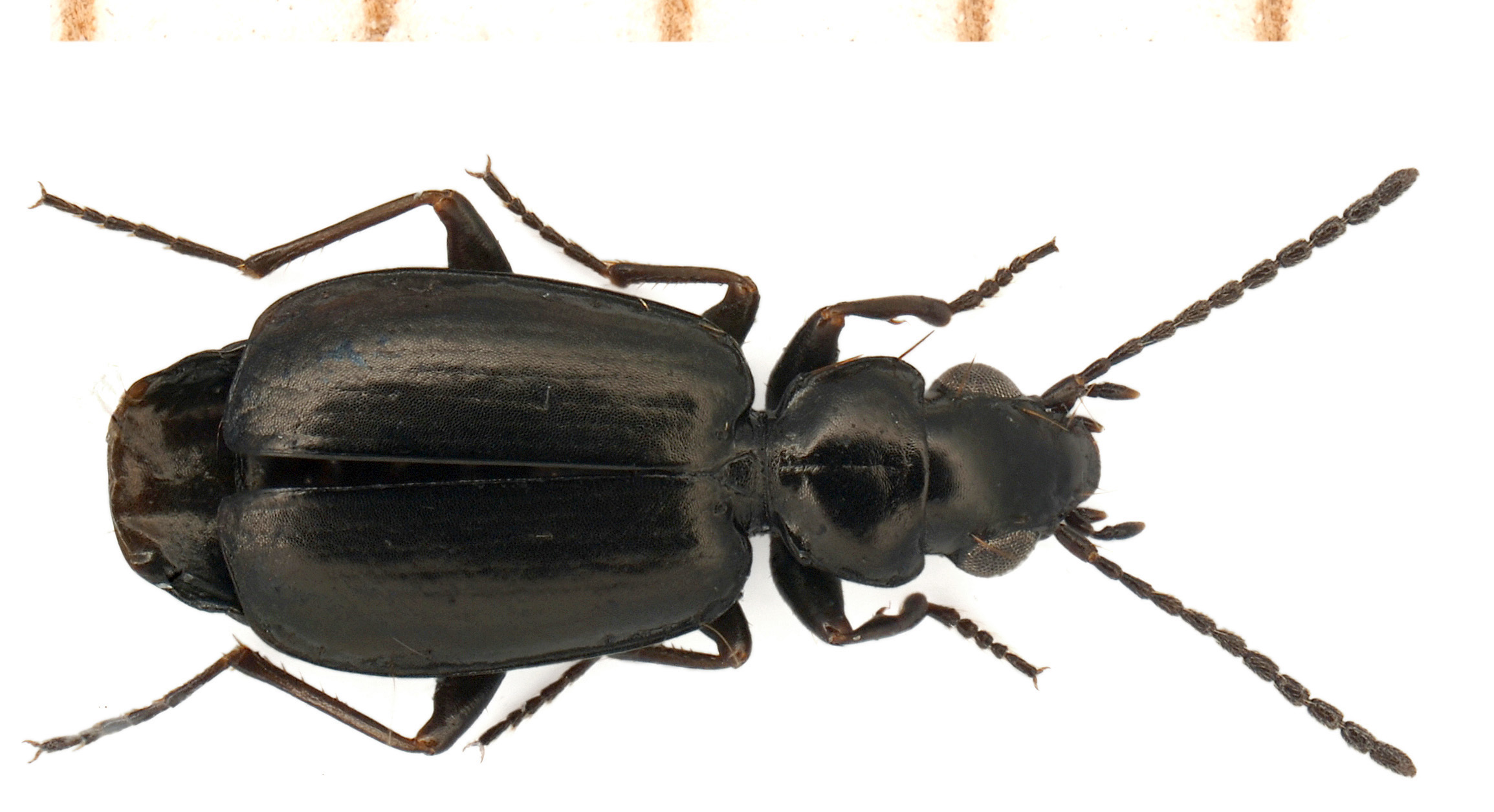Syntomus truncatellus (Linnaeus, 1761)