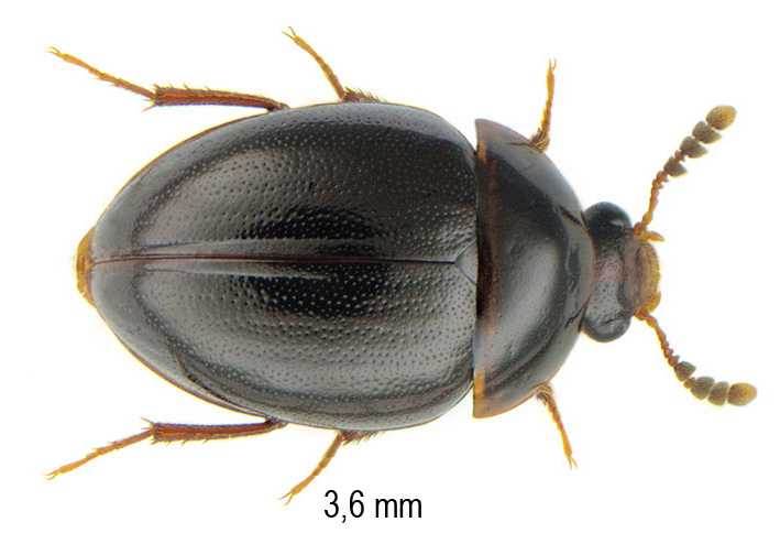 Anisotoma castanea (Herbst, 1791)